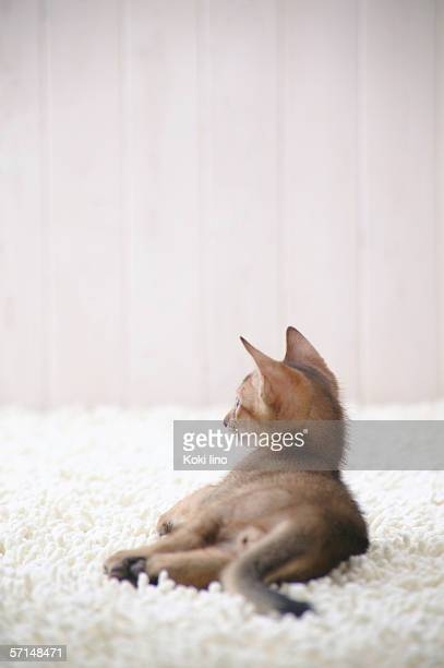 Abyssinian cat lying down