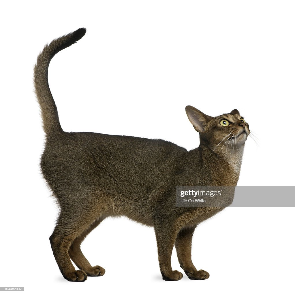 Abyssinian Cat : Stock Photo