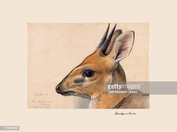 Abyssinian Duiker Plate 89 a watercolor Louis Agassiz Fuertes 1927