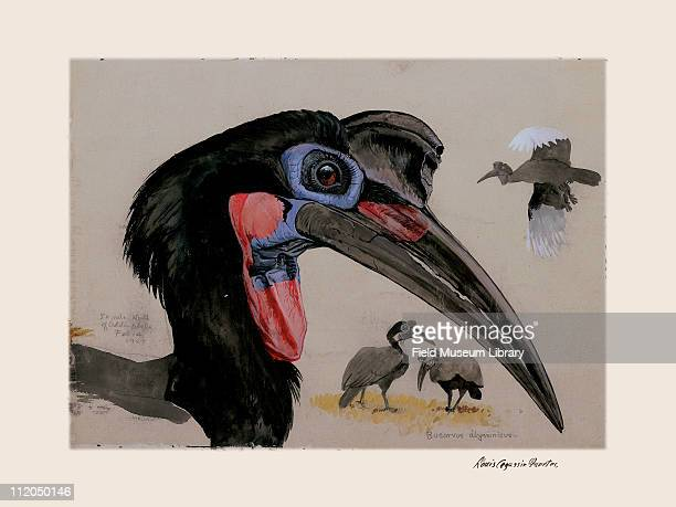 Abyssinian Ground Hornbill Plate 61 a watercolor Louis Agassiz Fuertes 1927