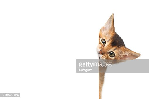 Abyssinian Kitty on Isolated White Background : Stock Photo