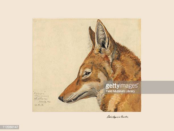 Abyssinian Wolf mammal Plate 74 a watercolor Louis Agassiz Fuertes 1926