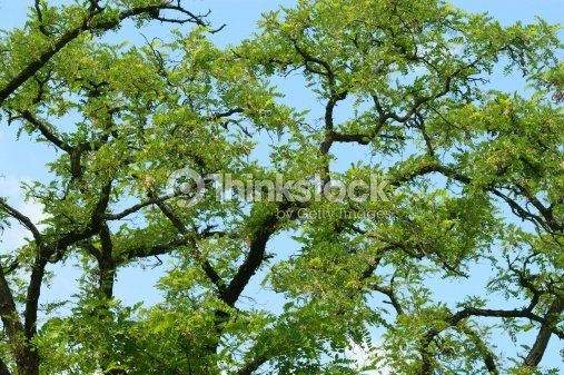 Acacia Leaves Background With Blue Sky Stock Photo Thinkstock