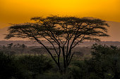 Acacia tree at Dramatic Sunrise in Samburu - backlit