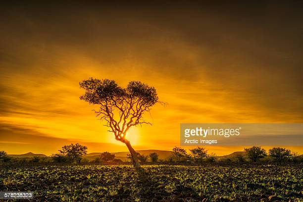 Acacia tree at sunset, Namibia, Africa.
