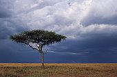Acacia tree growing on savannah against sky background, Masai Mara National Reserve, Kenya