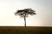 Acacia tree (Acacia sp) in Serengeti National Park