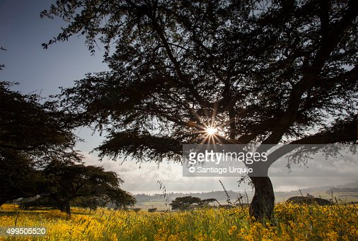 Acacia trees and yellow Meskel flowers in bloom