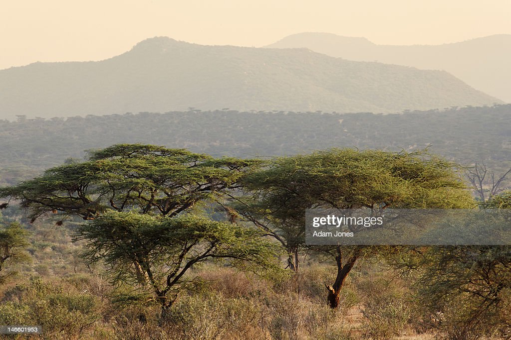 Acacia trees in riverine environment : Stock Photo
