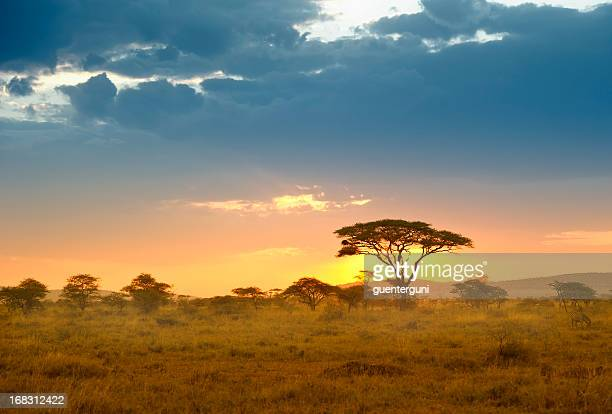 Acacias in the late afternoon light, Serengeti, Africa