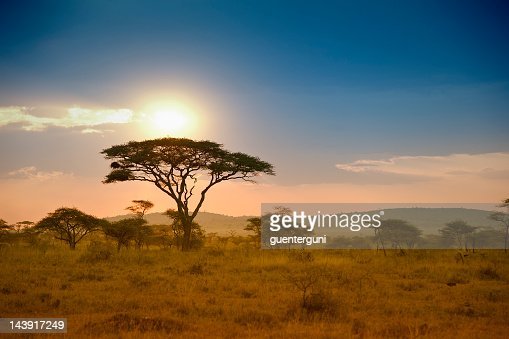 Acacias in the late afternoon light, Serengeti, Africa : Stockfoto