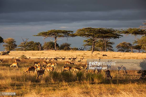 Acacia-trees in the Serengeti Nationalpark with dramatic clouds