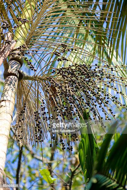 Acai Berries on Tree