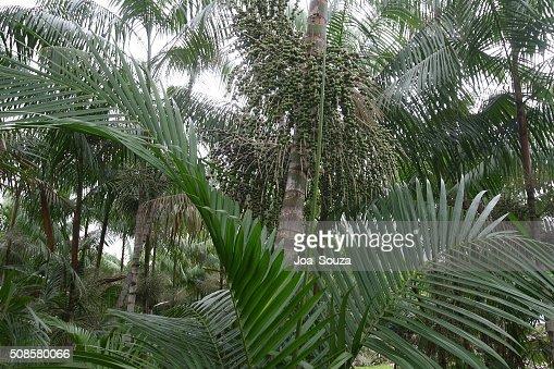 Plantation d'açaï : Photo