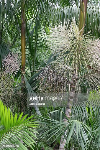 Acai Plantation : Stock Photo