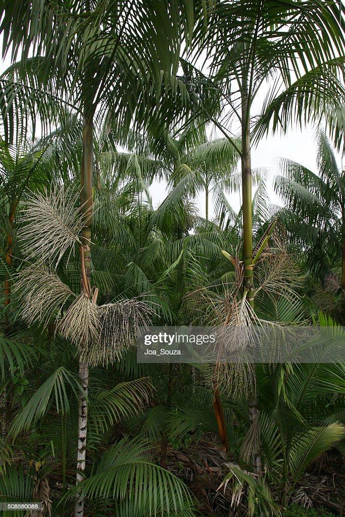 Acai-Plantage : Stock-Foto