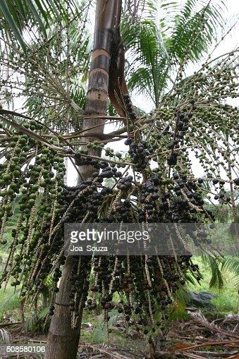 Acai Plantation : Stock Photo