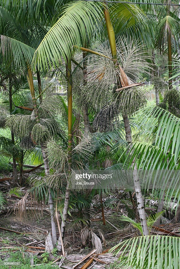 Acai Plantation : Stockfoto