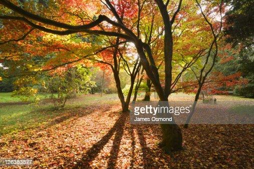 Acer Glade at Westonbirt Arboretum in Autumn, Gloucestershire, England, UK