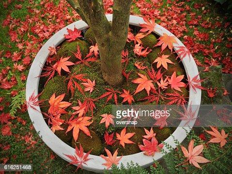 Folhas de Ácer : Foto de stock