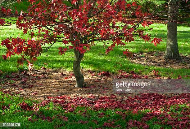 Acer Palmatum, stunning autumnal hues and tints