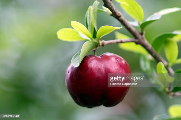 Acerola - Malpighia emarginata