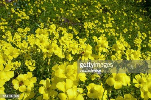 Acetosella gialla, Oxalis pes-caprae : Foto de stock