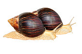 Achatina snail.Two Giant african snails isolated on white background.