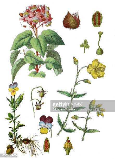Achiote Bixa orellana heartsease heart's ease heart's delight ticklemyfancy Jackjumpupandkissme Viola tricolor common rockrose Helianthemum...