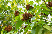 Achiote plant or Annatto plant seeds in nature, red pods are used for flavoring and natural color