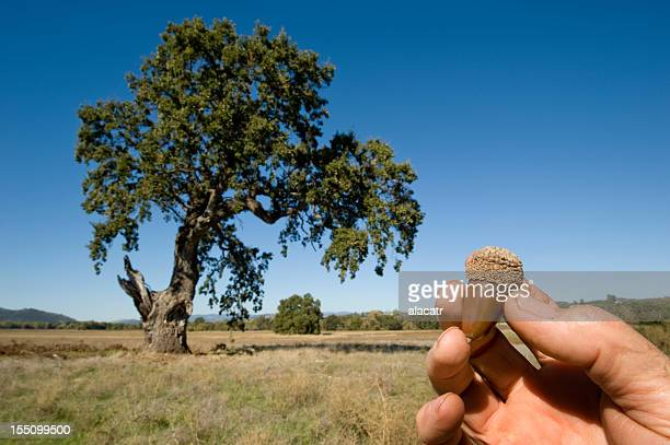 Acorn and Oak Tree