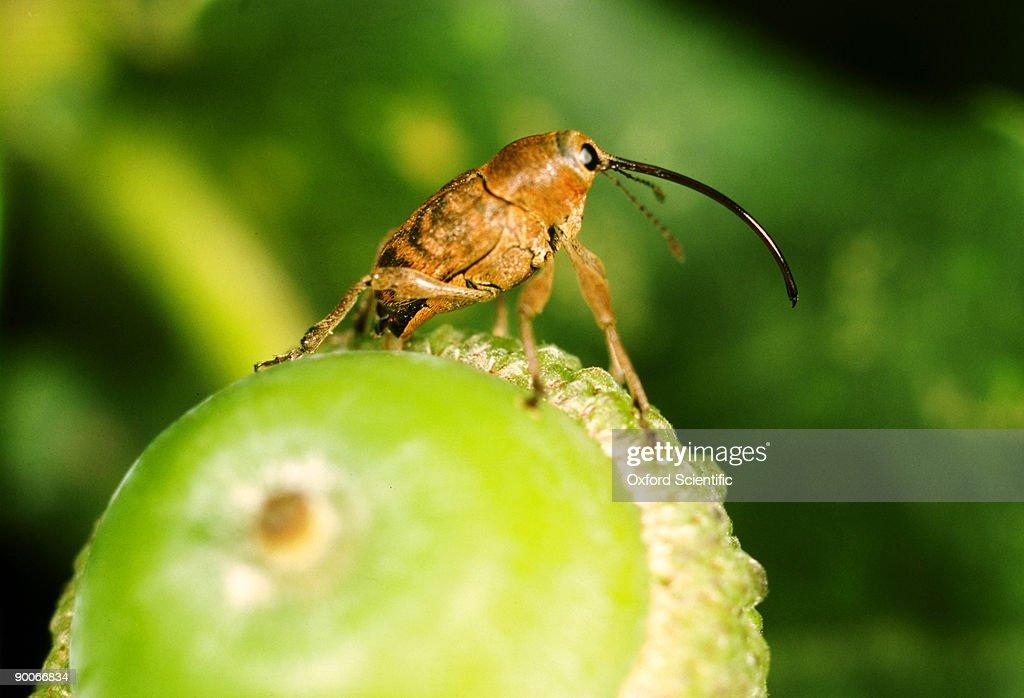 acorn weevil balaninus nucum egg laying in acorn