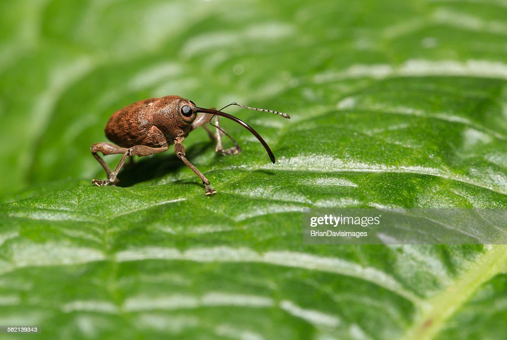 Acorn Weevil on leaf