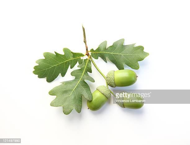 Acorns and Oak Leaves on White Background