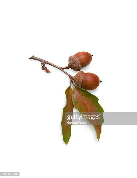 Acorns and Oak Leaves on White Background with Clipping Path