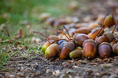 Acorns different maturity and sizes lie on the floor under the oak tree in the forest. Close-up.