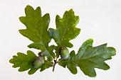 Acorns on English oak leaves (Quercus robus), close-up