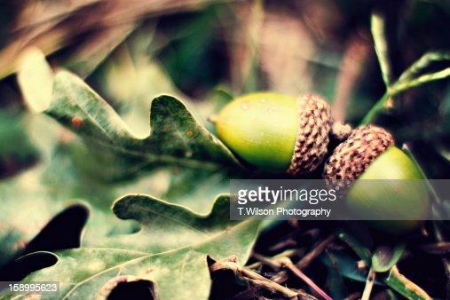 acorns : Stock Photo