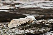 A macro image of a Salt Marsh moth, or Acrea moth at rest on a piece of tree bark in natural sunlight. Image taken in Houston, TX. Its scientific name is Estigmene acrea.