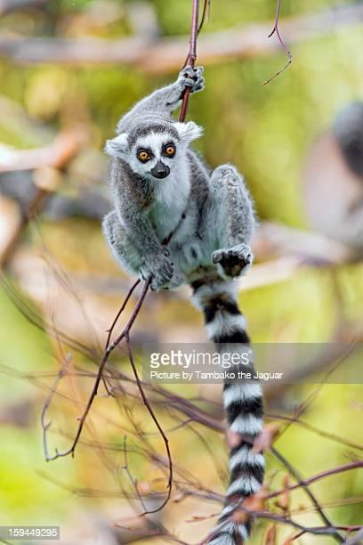 Acrobatic lemur