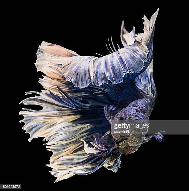 action of purple siamese fighting fish on black background