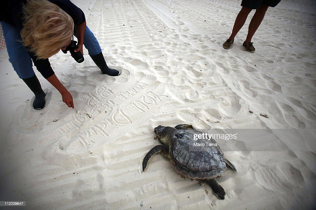 Activist Shirley Tillman writes a message in the sand next to dead sea turtle after it was pulled from the surf April 14, 2011 in Waveland, Mississippi. Tillman says she has discovered 19 dead sea turtles in Mississippi in the month of April alone and suspects they are dying due to the effects of the BP oil spill. Endangered sea turtles and dolphins are still dying in high numbers in Mississippi, which continues to be impacted by tar balls and weathered oil. There have been 67 reported sea turtle deaths through April 11. April 20th marks the one-year anniversary of the worst environmental disaster in U.S. history.