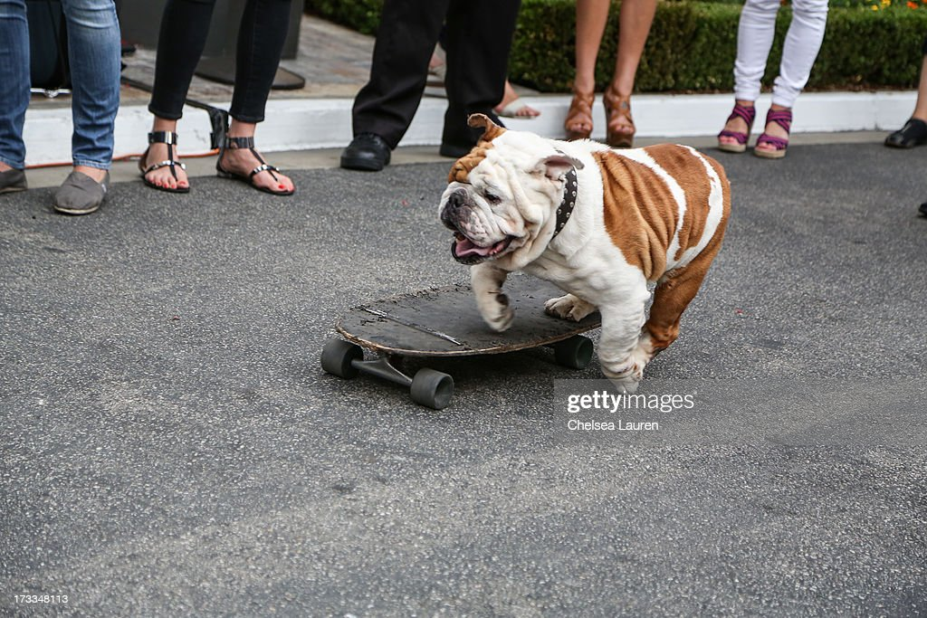 Actor dog Julio attends Abercrombie & Fitch's 'Stars on the Rise' event at Abercrombie & Fitch on July 11, 2013 in Los Angeles, California.