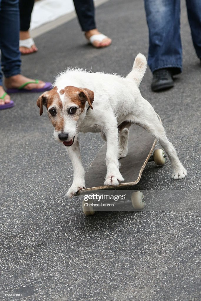 Actor dog Uggie attends Abercrombie & Fitch's 'Stars on the Rise' event at Abercrombie & Fitch on July 11, 2013 in Los Angeles, California.