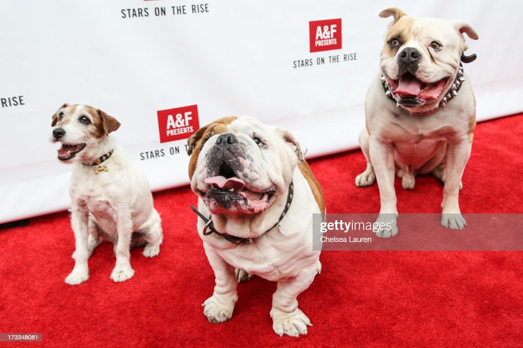 Actor dogs Uggie, Julio and Popeye attend Abercrombie & Fitch's 'Stars on the Rise' event at Abercrombie & Fitch on July 11, 2013 in Los Angeles, California.