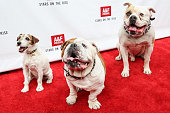Actor dogs Uggie Julio and Popeye attend Abercrombie Fitch's 'Stars on the Rise' event at Abercrombie Fitch on July 11 2013 in Los Angeles California