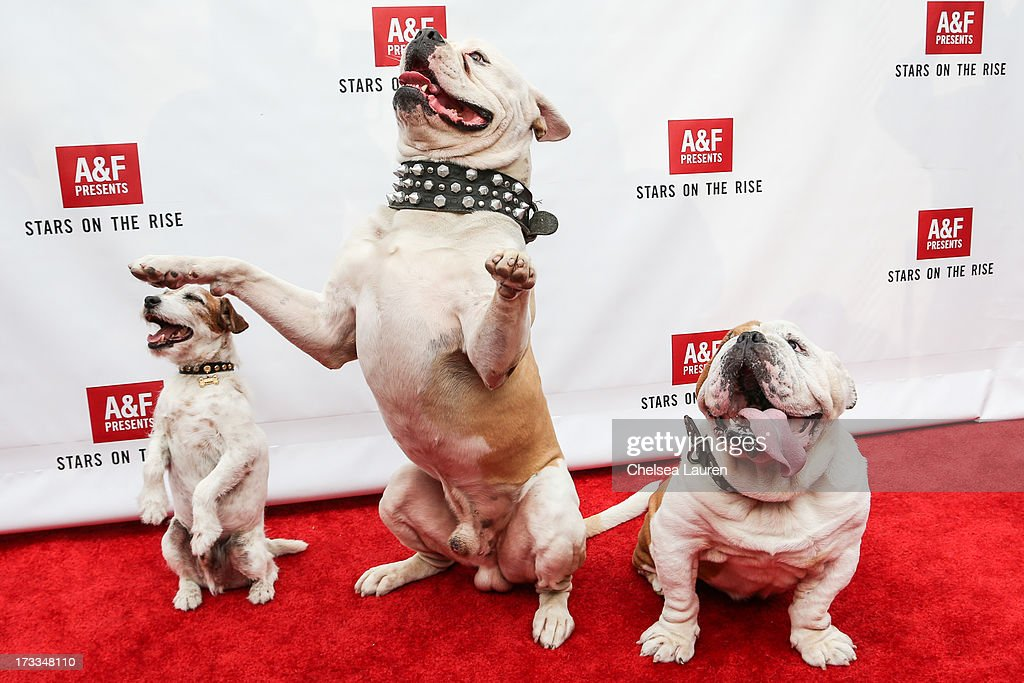 Actor dogs Uggie, Popeye and Julio attend Abercrombie & Fitch's 'Stars on the Rise' event at Abercrombie & Fitch on July 11, 2013 in Los Angeles, California.