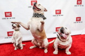 Actor dogs Uggie Popeye and Julio attend Abercrombie Fitch's 'Stars on the Rise' event at Abercrombie Fitch on July 11 2013 in Los Angeles California