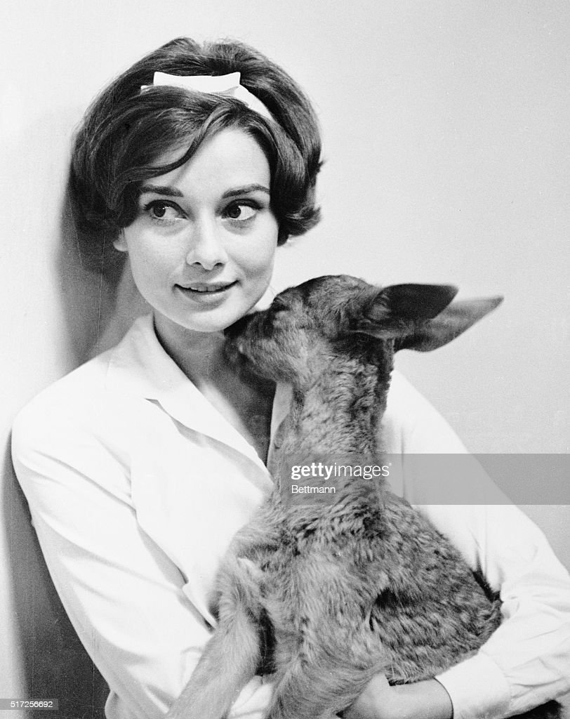 Actress Audrey Hepburn gets a kiss from her pet fawn, IP, in her home. Audrey Hepburn is married to actor Mel Ferrer.