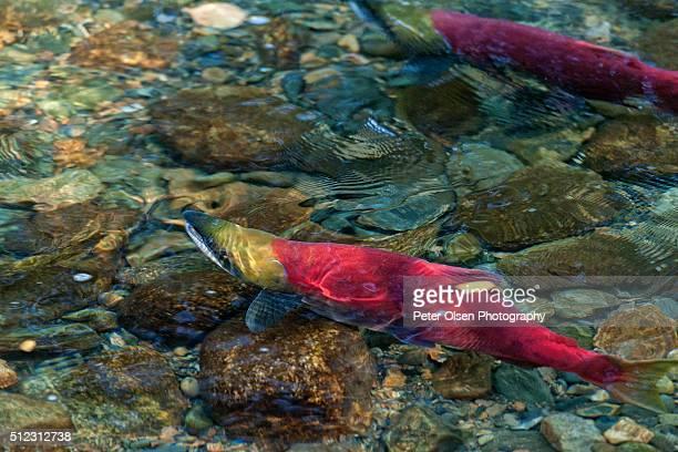 Adams River Sockeye Salmon Run
